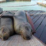 schlummernde Seehunde